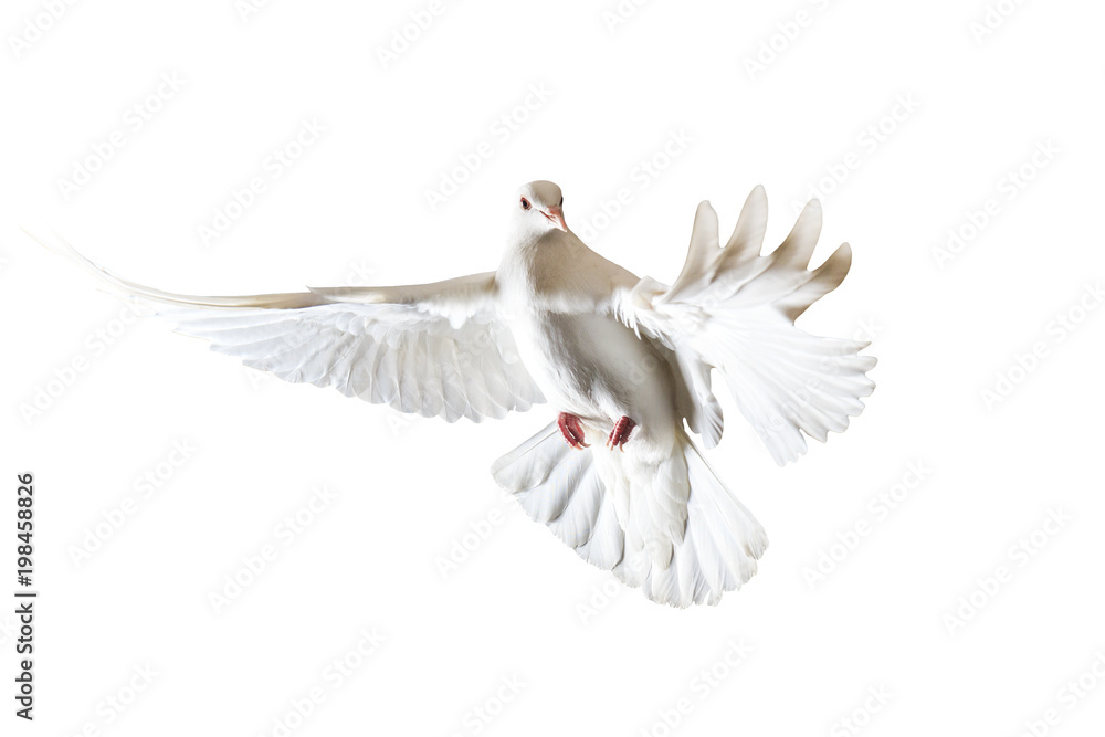 sacred white dove flying on a white background