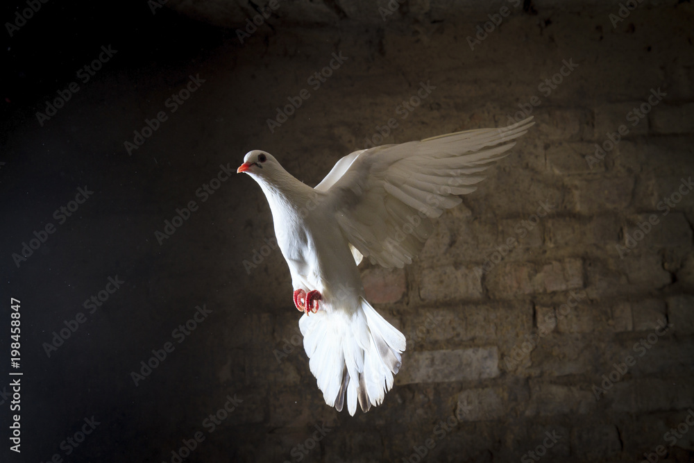 white dove flying into the light from the darkness