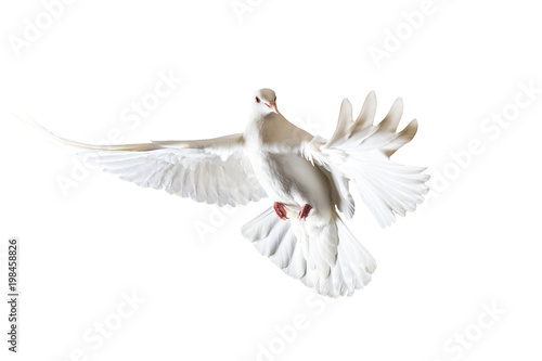 sacred white dove flying on a white background