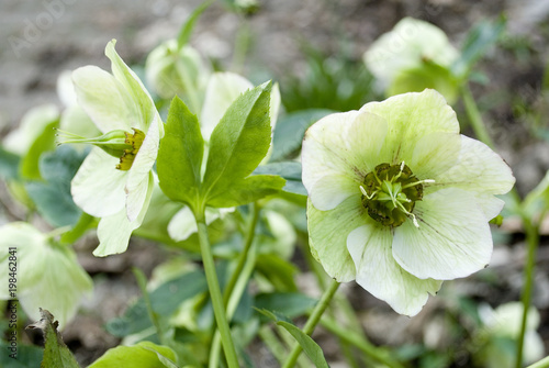 White flowers of helleborus niger or hellebore plants christmas white flowers of helleborus niger or hellebore plants christmas rose in full bloom mightylinksfo
