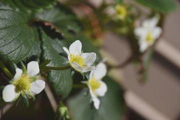Obraz na płótnie Canvas strawberry's flowers / プランターで育てるイチゴ(章姫)の花