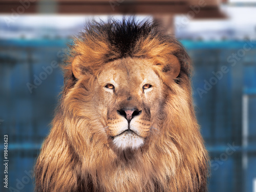 Fototapety, obrazy: Lion close-up with clever eyes isolated