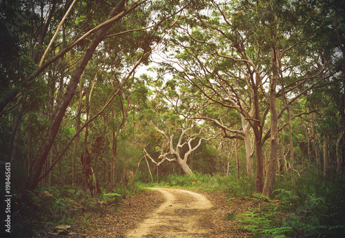 Fotografie, Obraz  Dirt track through Angophora and eucalyptus forest, Royal National Park, Sydney,