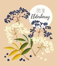Set Of Elder Flowers And Berries