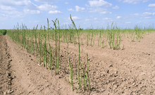 Agriculture:  Closeup Of A Green Asparagus Field In May