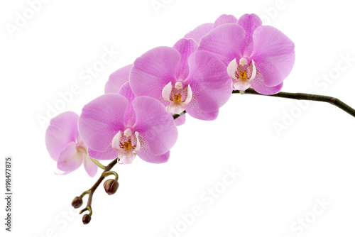Wall Murals Orchid Phalaenopsis