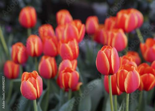 Foto op Canvas Baksteen Red tulips with beautiful bouquet background, Tulip