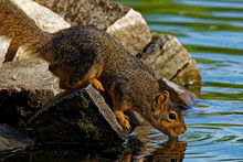 A Fox Squirrel Drinks From A Pond While Perched On Some Rocks. These Squirrels Are Commonly Found In Urban And Rural Areas In Iowa.