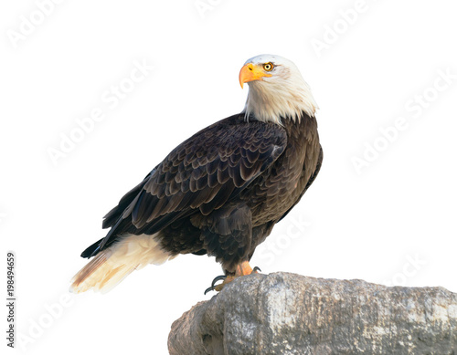 Foto auf Leinwand Adler Bald Eagle (Haliaeetus leucocephalus). Isolated on white