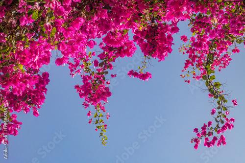 Cuadros en Lienzo Pink bougainvillea flowers.