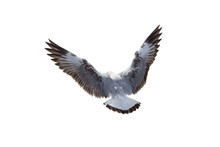 Seagulls Flying Isolated On A ...