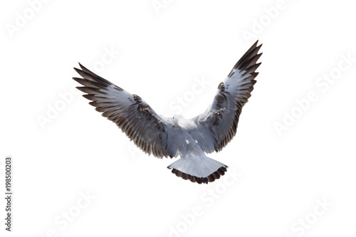 seagulls flying isolated on a white background