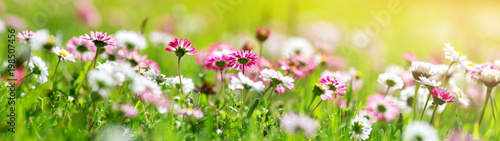 Green field with daisy blossoms. Closeup of pink spring flowers on the ground