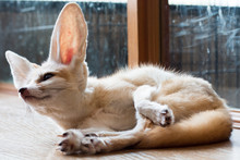 Fennec Fox 1 Year Isolate On Background,front View From The Top, Technical Cost-up.