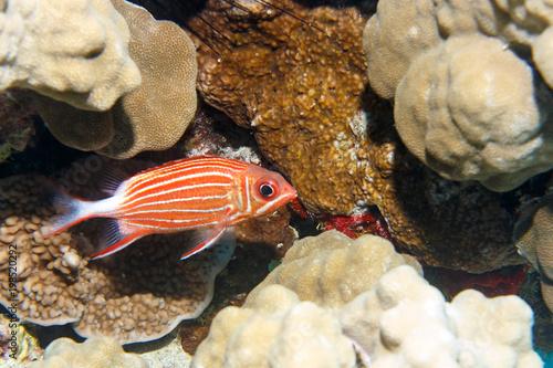Zdjęcie XXL Wiewiórka ryb w koralowcach. Dahab. Egipt. Synaj Południowy.