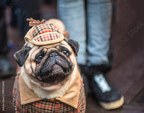 Photo  French Bulldog dressed in the style of Sherlock Holmes