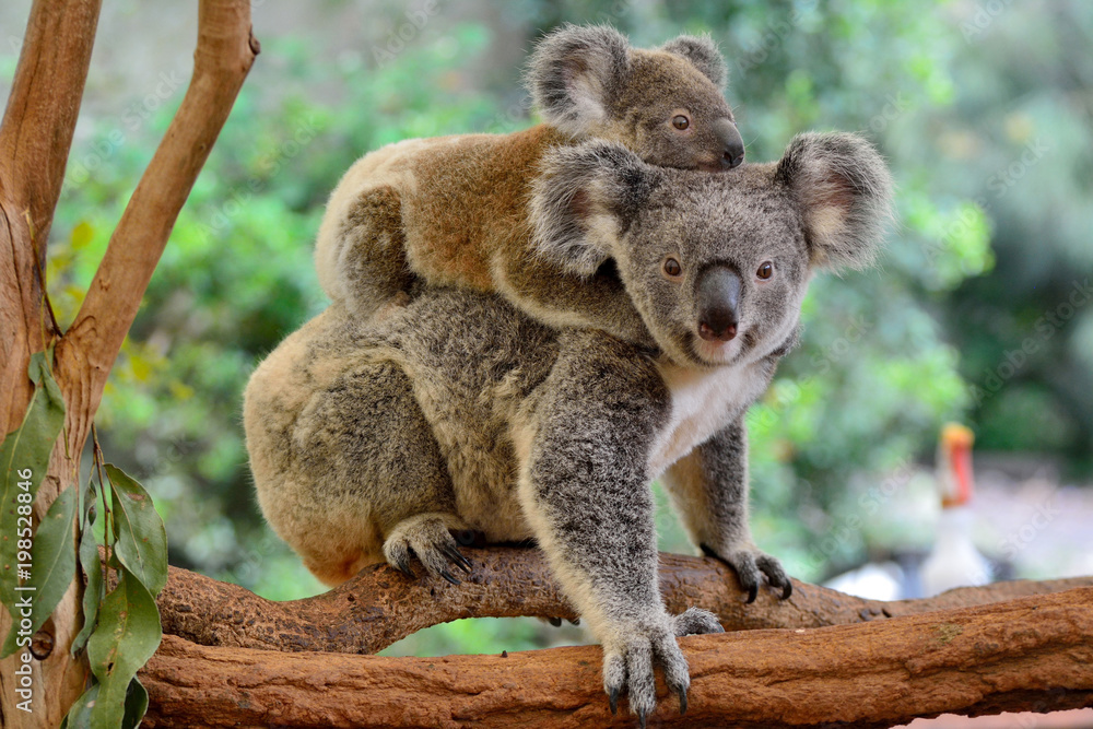 Fototapeta Mother koala with baby on her back