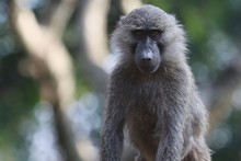 Baboon, Young Baboons, Africa