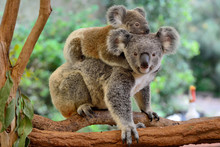 Mother Koala With Baby On Her ...