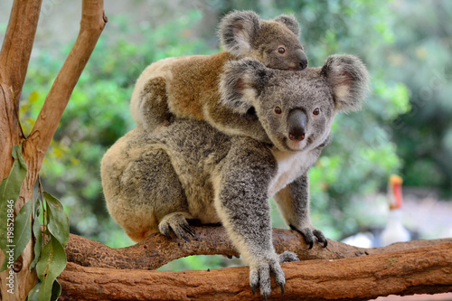 In de dag Koala Mother koala with baby on her back