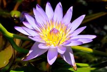 Blue Lotus (Nymphaea Nouchali)