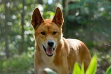 Dingo Dog (Lupus Dingo)