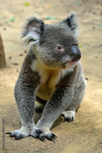 Fotobehang Koala Koala sitting on the ground