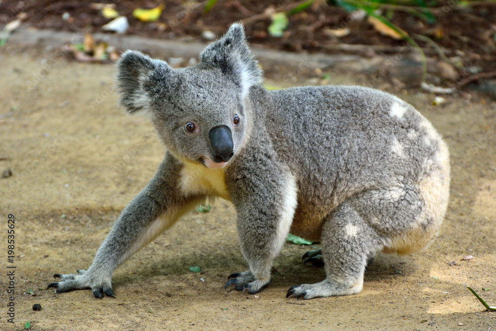 Koala walking on the ground