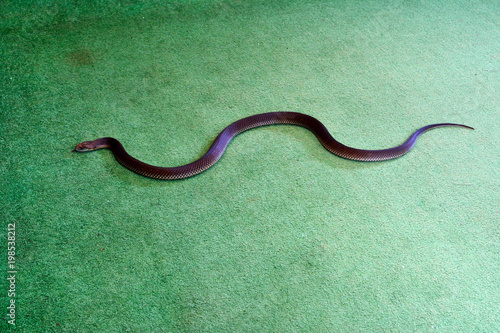 Fotografie, Obraz  King Brown snake also known as Mulga snake (Pseudechis australis) indoor on green carpet floor