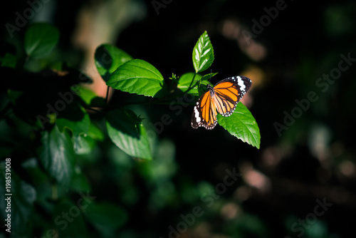 Orange Butterfly In The Darkness Of Jungles Lit By The Spot Of