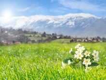 Primrose Flowers On The Mounta...