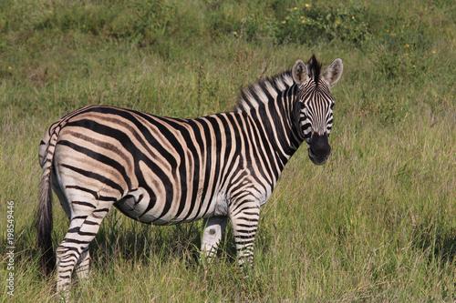 Wall Murals Zebra Wild Zebra on South Africa Safari