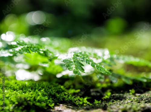 Freshness green moss and ferns with water drops growing in the rain forest