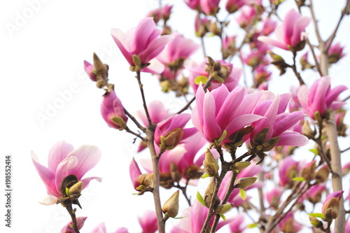 Photo  Magnolia flower blooming