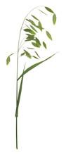 Woodoats, Chasmanthium Latifolium Isolated On White Background