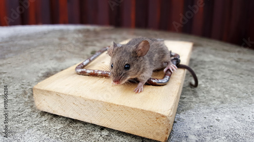 hungry mouse fell into a trap. tail is stuck in a mousetrap. Free Cheese In a Mousetrap. rodent catching