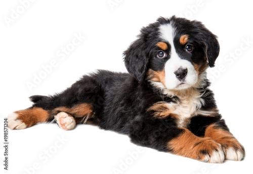 bernese mountain dog puppy isolated on white background Canvas Print