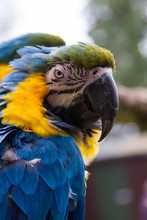 Scruffy Macaw Parrot With Ruffled Feathers