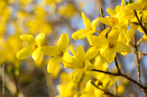 Beautiful Forsythia in spring time Wallpaper Mural