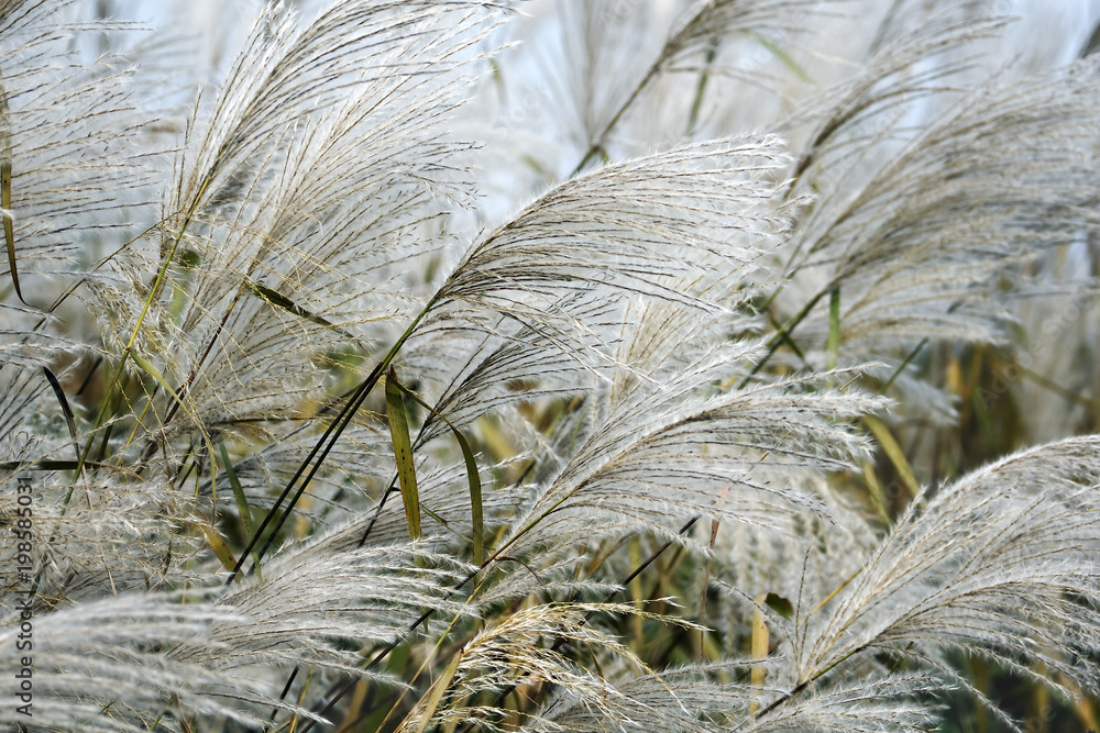 Fototapeta Amur silver grass (Miscanthus sacchariflorus). Known also as Japanese silver grass.