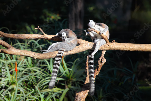 Two Tailed lemurs  (Lemur catta) sitting on a branch Canvas-taulu