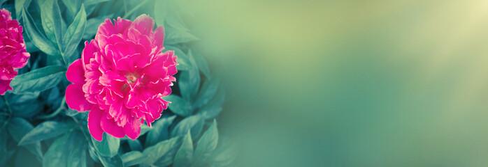 Fototapeta Peonie Delicate pink peonies