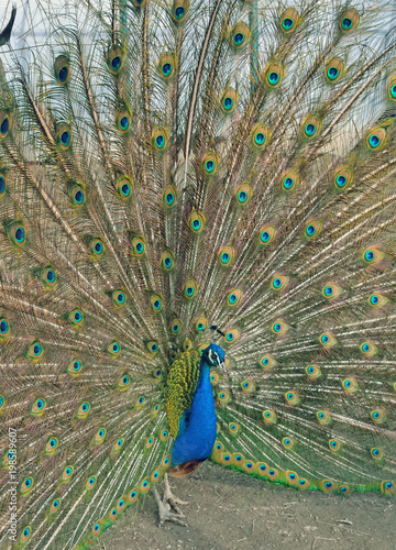 Foto op Plexiglas Pauw Peacock and other birds live in the pen on the farm