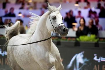 running arabian show white horse. inside