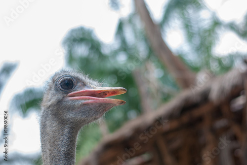 Staande foto Struisvogel Portrait photo of ostrich with blurred background