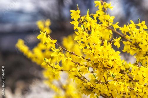 Photo yellow korean forsythia
