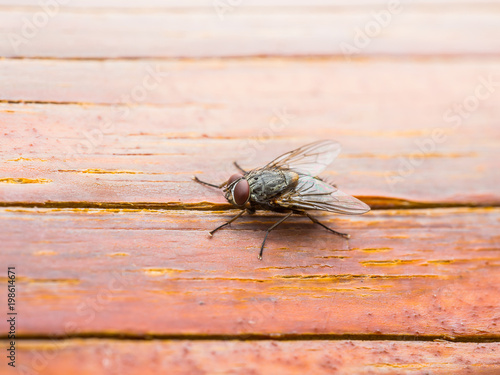 Drosophila Fly Insect on Wooden Wall