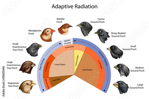 Education Chart of Biology for Adaptive Radiation of Galapagos finches Diagram Fototapete