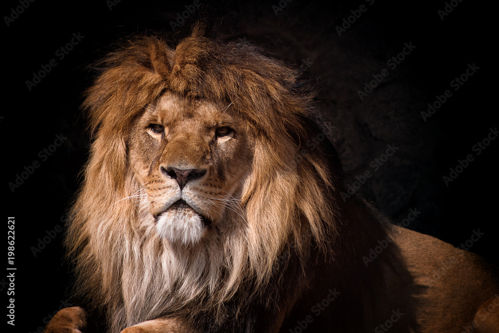 Fototapeta portrait of a lion looking
