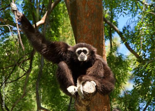 Fotografie, Obraz  White handed Gibbon sitting in a tree